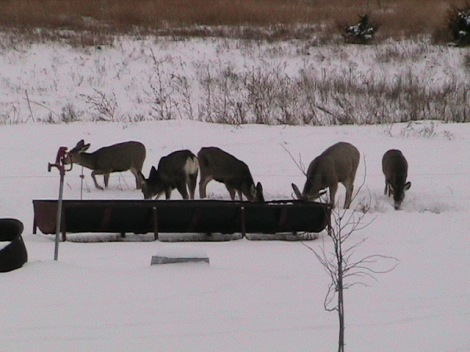 Deer in the front pasture